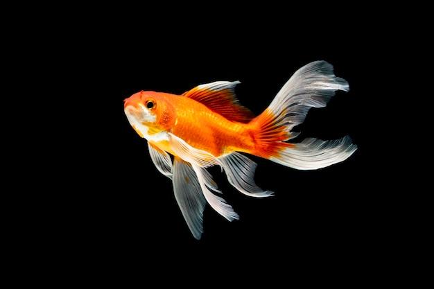 Schoonheid vis onderwater zwemmen op zwarte achtergrond
