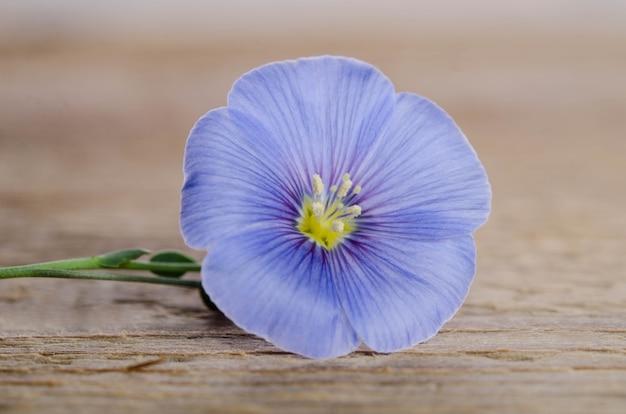Schoonheid vlas bloem