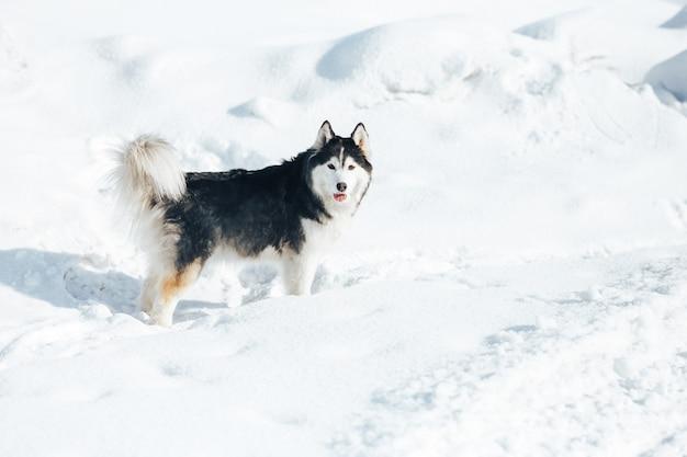 Schor hond die in de sneeuw ligt. zwart en wit siberische husky met blauwe ogen op een wandeling in de winter park.