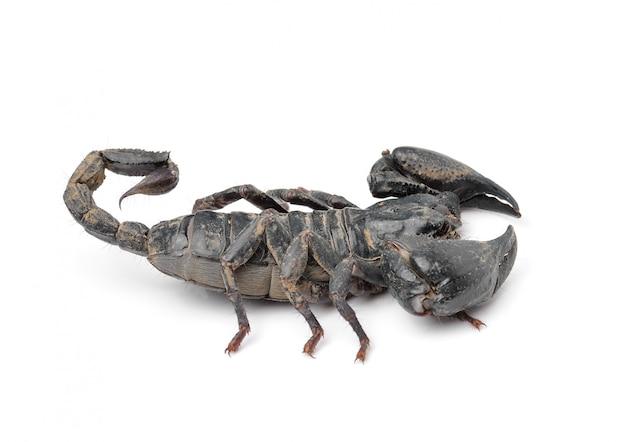 Schorpioen die op wit wordt geïsoleerd