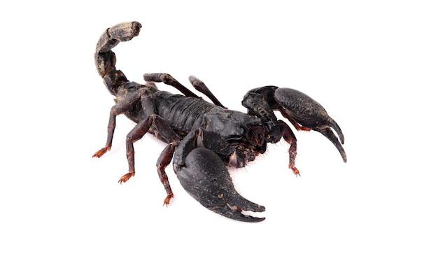 Schorpioen isoleren op witte achtergrond.