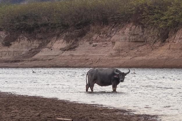 Schot van de buffel in de wateren die in doi tao lake, thailand, azië worden genomen