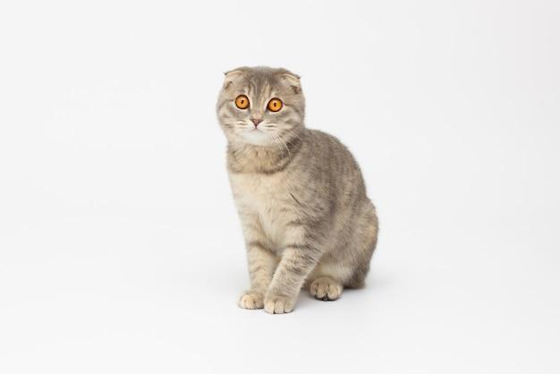Schotse kat zit geïsoleerd op witte achtergrond