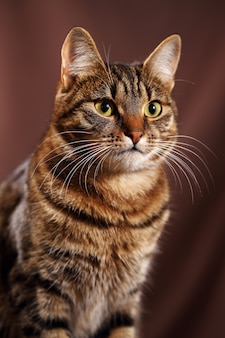 Schotse rechte kat