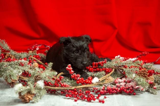 Schotse terriër pup poseren. schattig zwart hondje of huisdier spelen met kerst- en nieuwjaarsdecoratie. ziet er schattig uit. concept van vakantie, feestelijke tijd, winterstemming. negatieve ruimte.