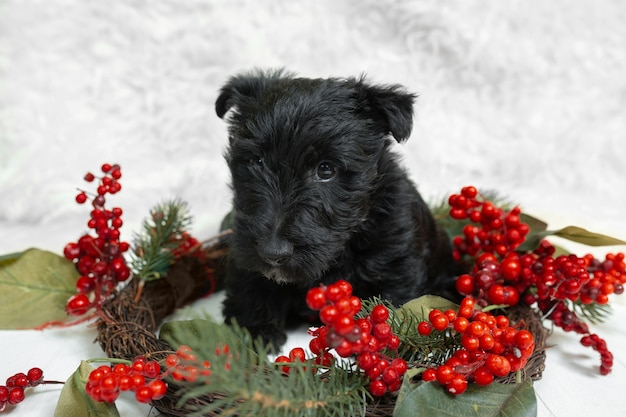 Schotse terriër pup poseren. schattig zwart hondje of huisdier spelen met kerst- en nieuwjaarsdecoratie. ziet er schattig uit. studiofoto-opname. concept van vakantie, feestelijke tijd, winterstemming. negatieve ruimte.