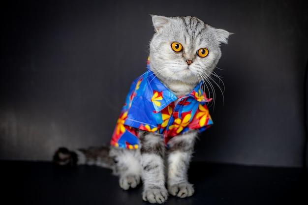 Schotse vouwen kat draagt een bloemen shirt.
