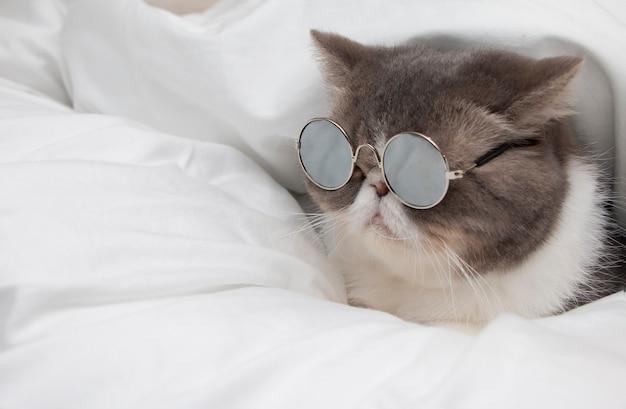 Schotse vouwen kort haarkat die zonnebril draagt die en op witte deken liggen ontspannen. onscherpe achtergrond.