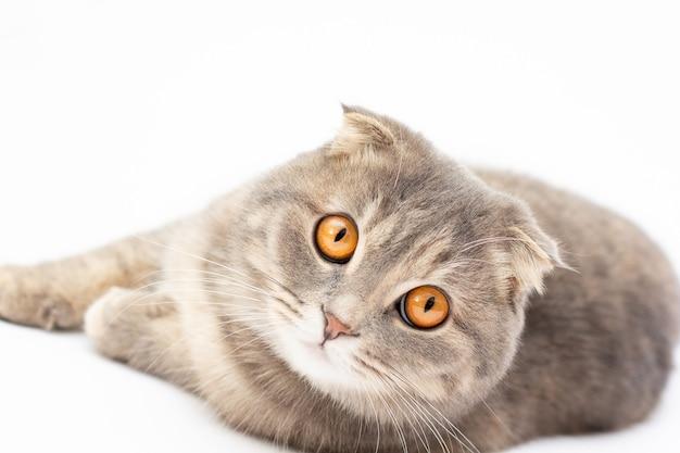 Schotse vouwenkat met grote oranje ogen op witte achtergrond