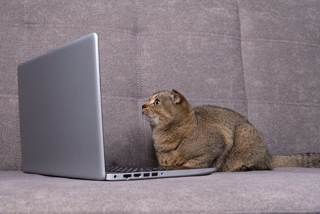 Schotse vouwenkat met laptop op bank.