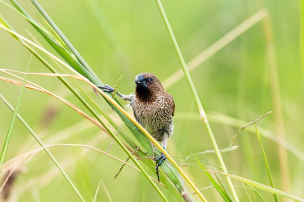 Schub-breasted munia (lonchura-punctulata) die onkruid of graszaad eet in ingediend