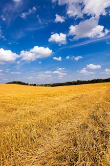 Schuine tarwe - een landbouwveld waarop het oogstbedrijf van tarwe passeerde