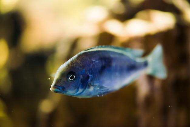 Sciaenochromis friteuse van blauwe kleur met zwarte vlekken drijft in het aquarium. mbuna in vissentank. cichliden.