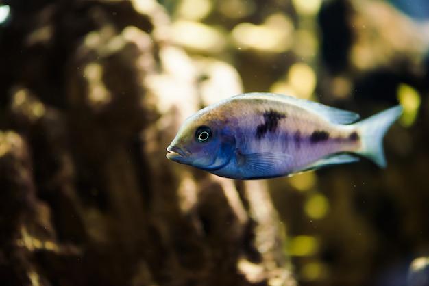 Sciaenochromis friteuse van blauwe kleur met zwarte vlekken drijft in het aquarium.