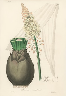 Scilla (scilla maritima) illustratie van medical botany (1836)