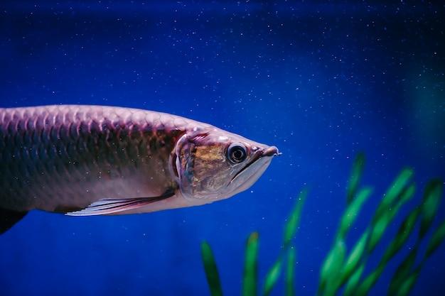 Scleropages jardini zweeft tussen algen. een grote glanzende roze vis.