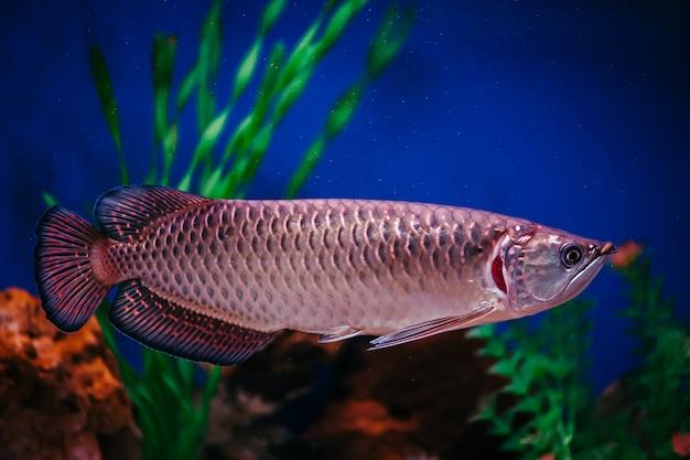 Scleropages jardini zweeft tussen algen en koralen. een grote glanzende roze vis.