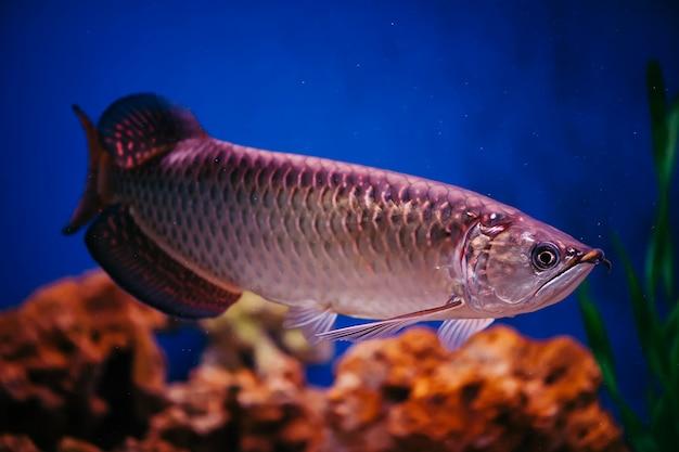 Scleropages jardini zweeft tussen algen en koralen. grote glanzende roze vis.