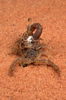 Scorpion brengt baby's op haar rug