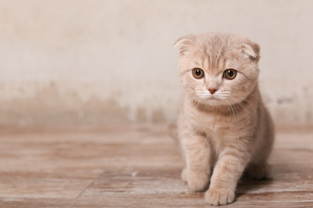 Scottish fold kat zittend op de vloer
