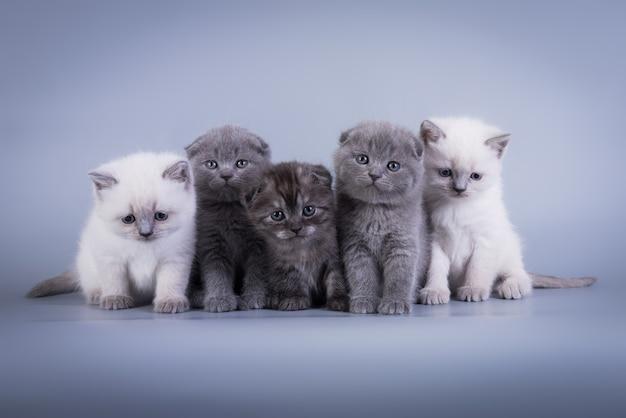 Scottish fold klein schattig kitten blauw colorpoint wit, zilver tabby
