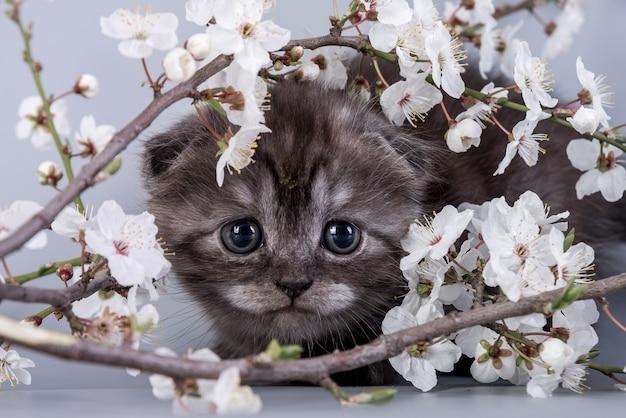 Scottish fold klein schattig kitten zilver tabby kleur