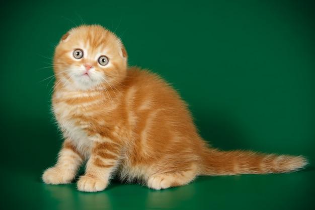 Scottish fold korthaar kat