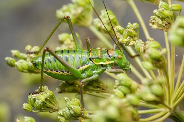 Scrub cricket, bush cricket (steropleurus perezi)