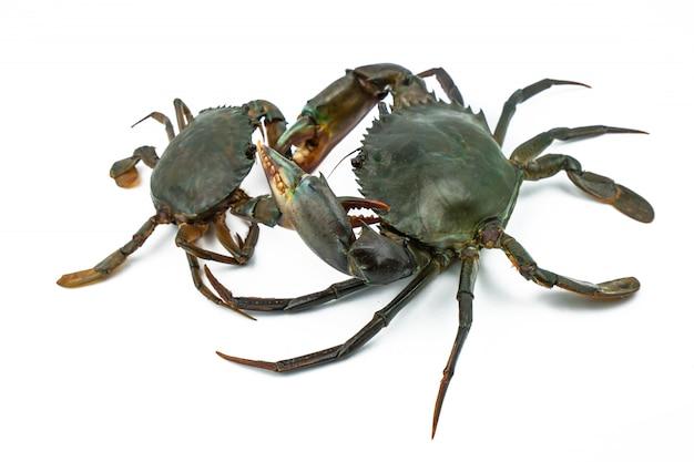 Scylla serrata. grote krab gebruikt de klauw om kleine krab te bestrijden
