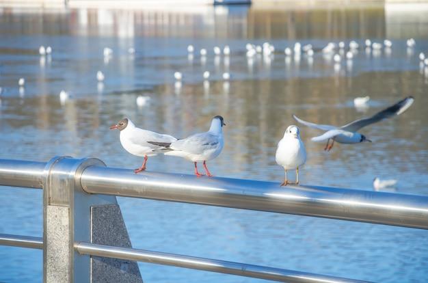 Seagull zittend op de oever van de rivier de svisloch in minsk (wit-rusland).