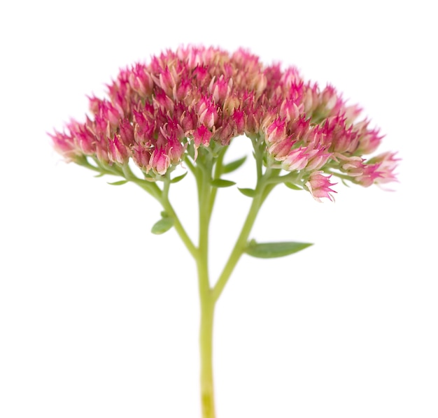 Sedum bloemen geïsoleerd op een witte achtergrond. hylotelephium spectabile of opzichtige muurpeper.