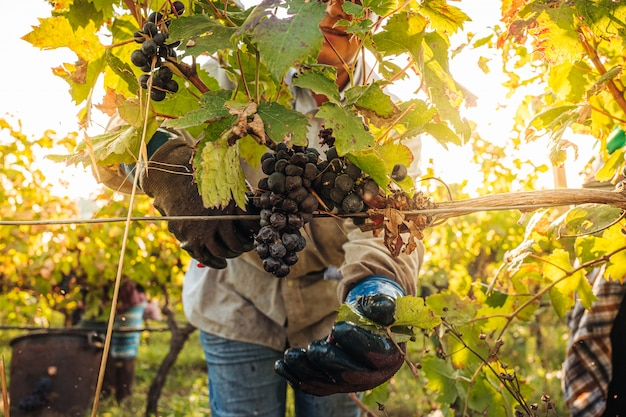 Seizoensgebonden oogst van primitivo-druiven in de wijngaard