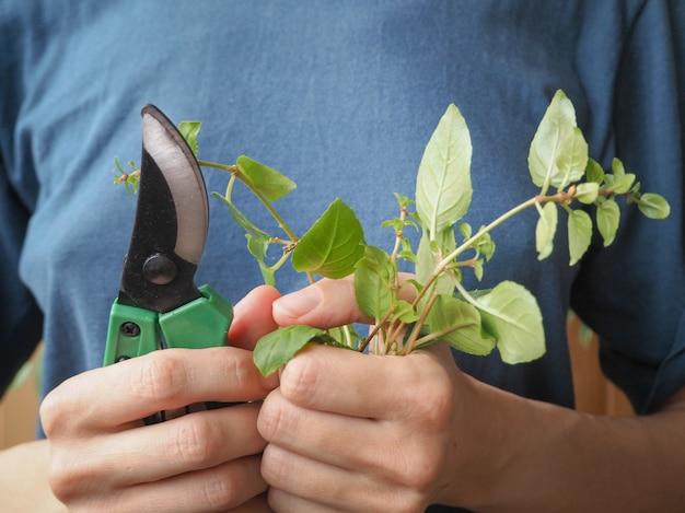 Seizoenssnoei van planten. snoeischaar en scheuten van planten in de handen van de tuinman. planten fuchsia's kweken.