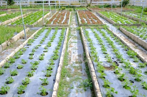 Selderij groentegewassen groeien in tuin boerderij