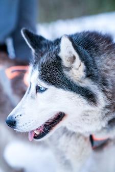 Selectieve aandacht close-up van het hoofd van de husky in de sneeuw