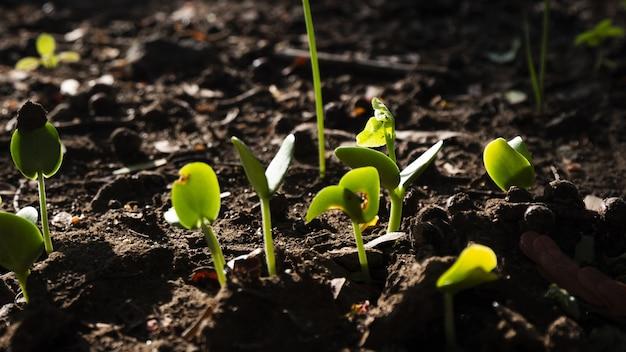 Selectieve aandacht die van een groep groene spruiten is ontsproten die uit de grond groeien