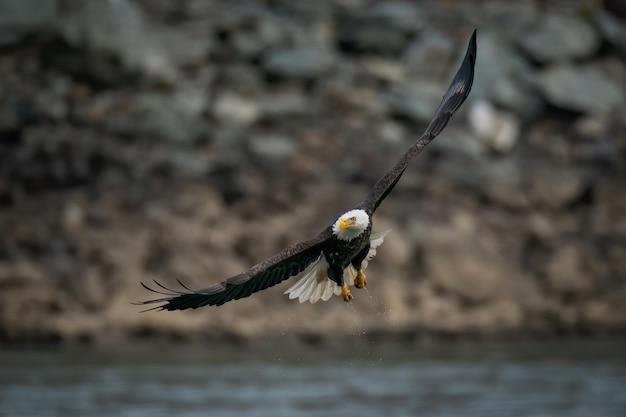 Selectieve aandacht die van een kale adelaar is ontsproten die boven de susquehanna-rivier in maryland vliegt
