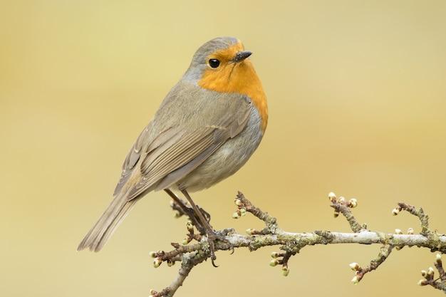 Selectieve aandacht die van een mooie europese robin in het bos is ontsproten