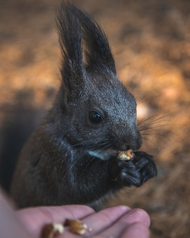 Selectieve aandacht die van een schattige eekhoorn met kwastjes is ontsproten die zijn voedsel met een vage achtergrond eet