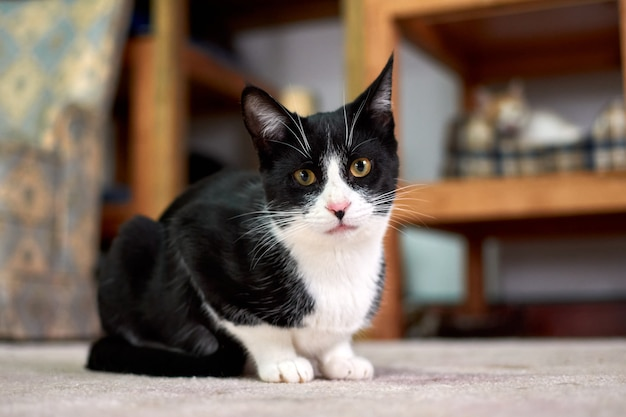 Selectieve aandacht die van een zwart-witte kat is ontsproten die op de vloer ligt