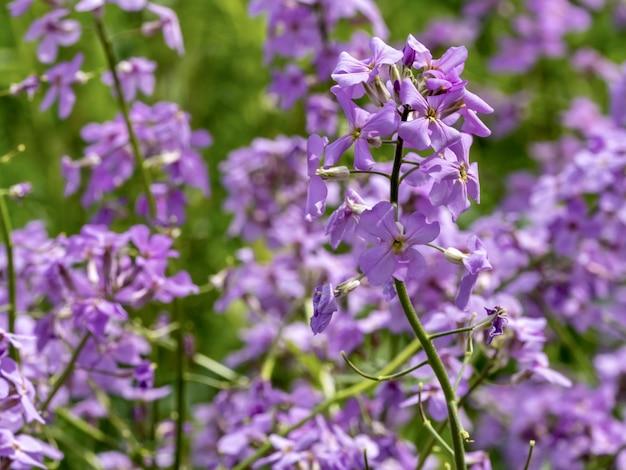 Selectieve aandacht die van mooie lila gillyflowers in de tuin is ontsproten