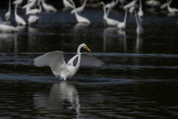 Selectieve aandacht shot van een grote witte zilverreiger zijn vleugels uitgespreid op het meer