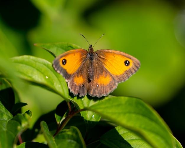Selectieve aandacht shot van een mooie bruine en gele vlinder op een groen blad