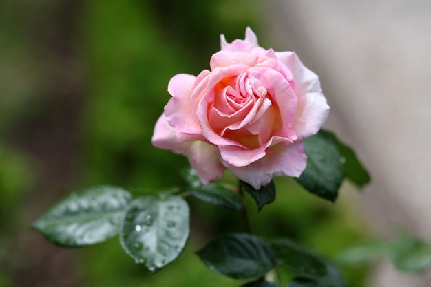 Selectieve aandacht shot van een roze roze bloesem