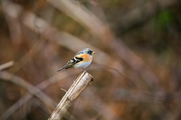Selectieve aandacht shot van een schattige brambling vogel zittend op een houten stok