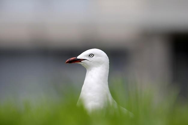 Selectieve aandacht shot van een witte europese zilvermeeuw omgeven door gras met een onscherpe achtergrond