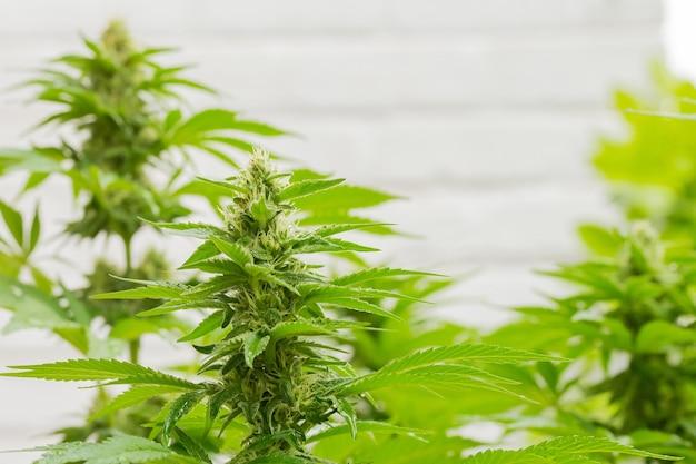 Selectieve aandacht shot van marihuanainstallaties op een boerderij