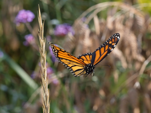 Selectieve aandacht shot van vliegende gespikkelde houten vlinder