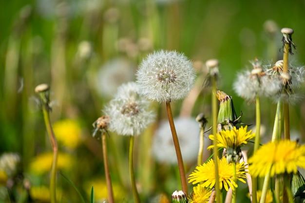 Selectieve aandacht shot van witte en gele paardebloemen in de tuin