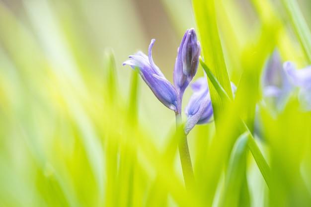 Selectieve aandacht van blauwe klokbloemknoppen in het veld